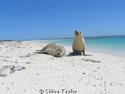 This pup loved posing for the camera ;) Abrolhos Islands by Chloe Taylor 
